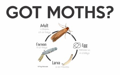 WOOL MOTHS – Pesky Pests